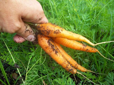 Carrot harvest WEB