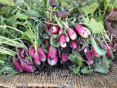 Radish Harvest WEB