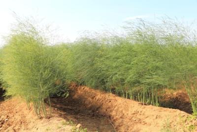 Asparagus foliage growing WEB