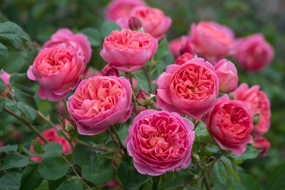 Boscobel (Auscousin) Image courtesy of David Austin Roses®.